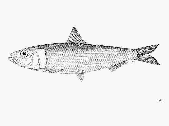 Fishsource Indian Oil Sardine Kerala