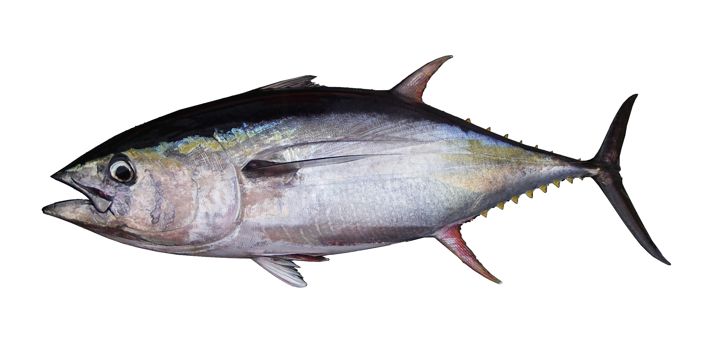 Indian tuna fish images galleries for Tuna fish can