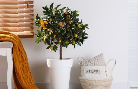 Indoor Fruit Tree