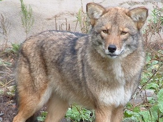 Wild Neighbor, The Real Eastern Coyote