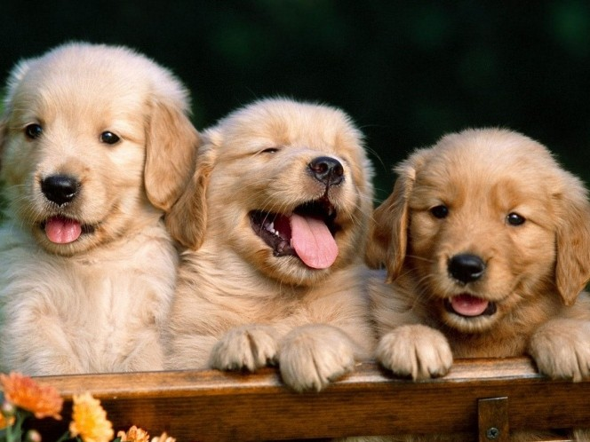 Puppies on the Porch Philanthropy Event tickets - Sigma Chi Fraternity - Purdue University