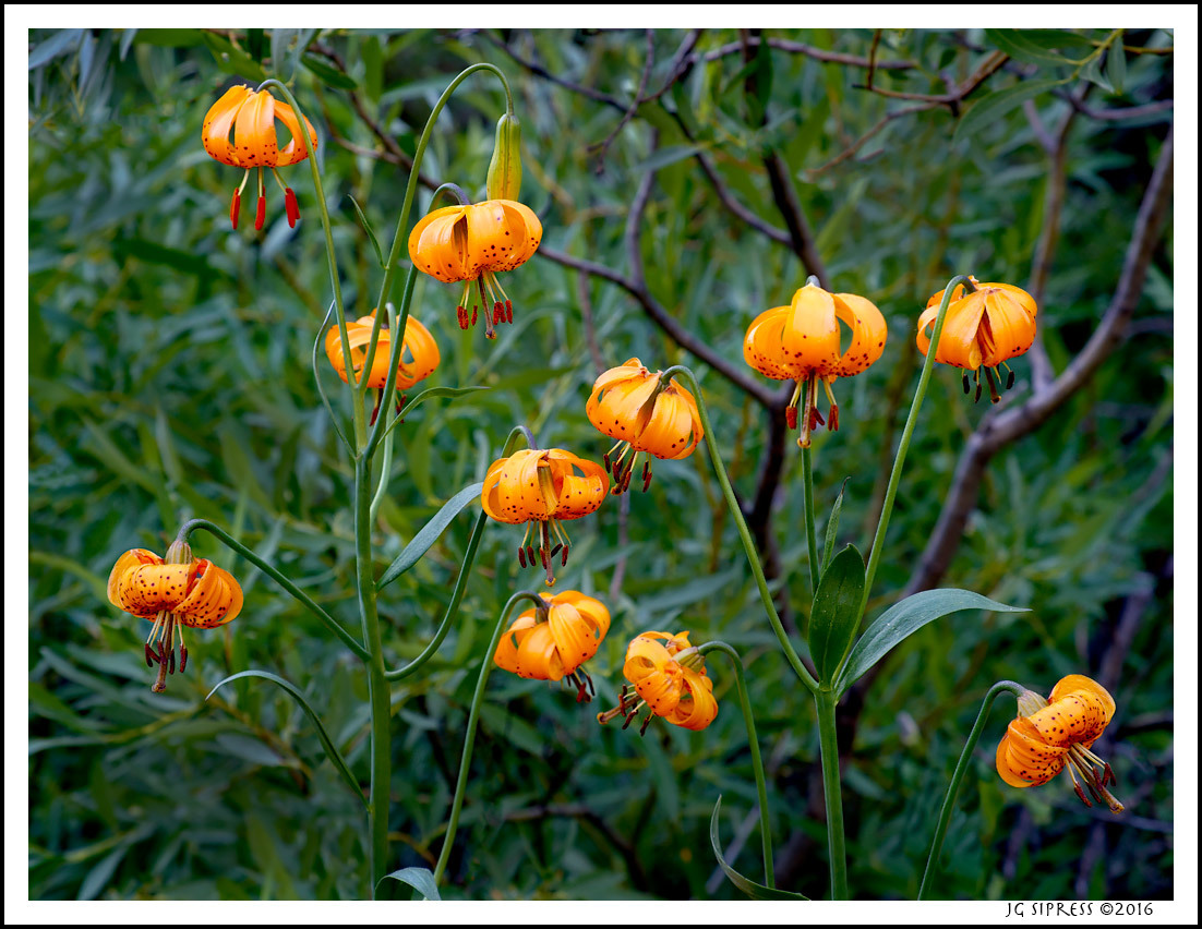 Tiger Lillies, Eastern Sierra Nevada, CA
