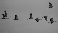 trying to make lemonade out of sandhill cranes