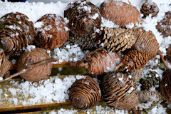 Pine Cones and Hail Stones