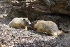 yellow bellied marmot greeting