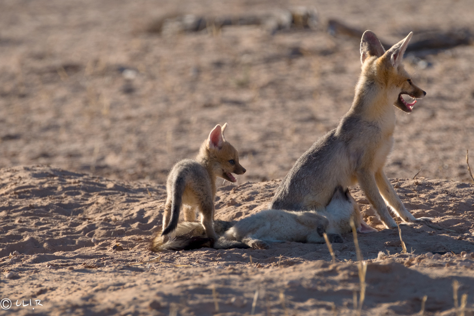Cape Fox with pups