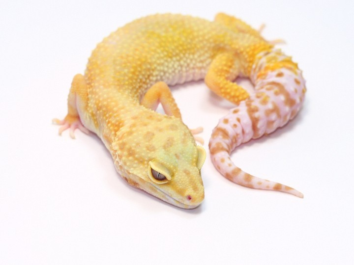 how to become a reptile breeder