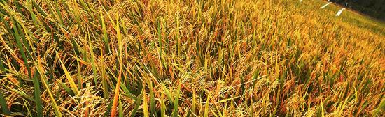 Rice dany3