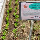 Haggerty-pea-growth