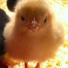 Baby chicks copy