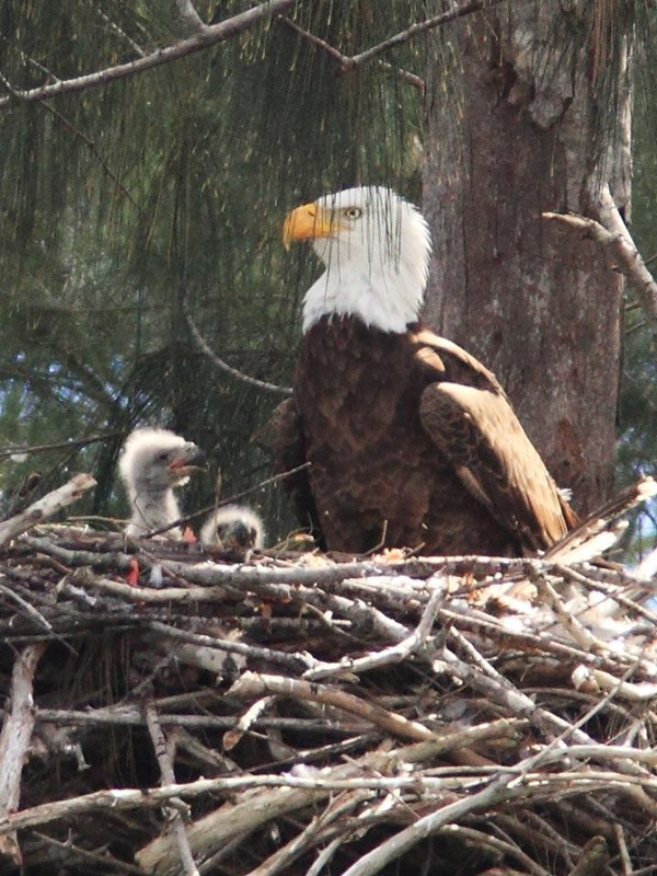 Joy with her 2 Little Eaglets