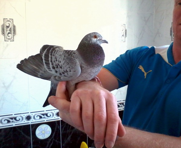 Picasso the pigeon