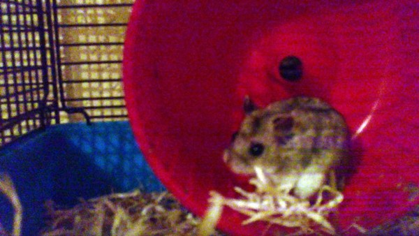 Titch the dwarf hamster