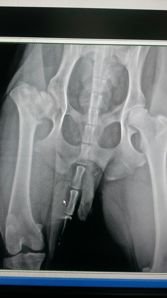 Pepper's Hip X-ray