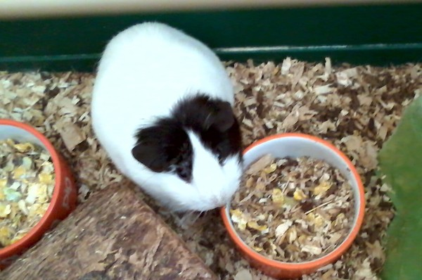 Perky the guinea pig