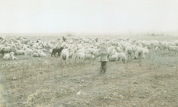 Young - Jesus Sanchez gathering the sheep