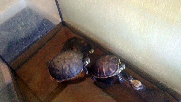 Some of the terrapins