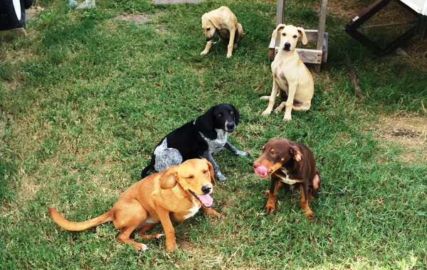 Before her accident: Cagney, Lacey and a group of other homeless dogs. Runge, TX