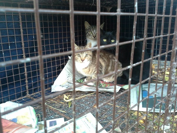 Cats trapped prior to being neutered and re-released