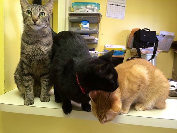 Three cats in our cage-free adoption center