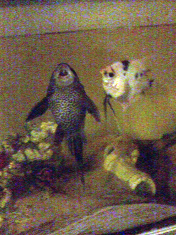 Pleco and angel fish