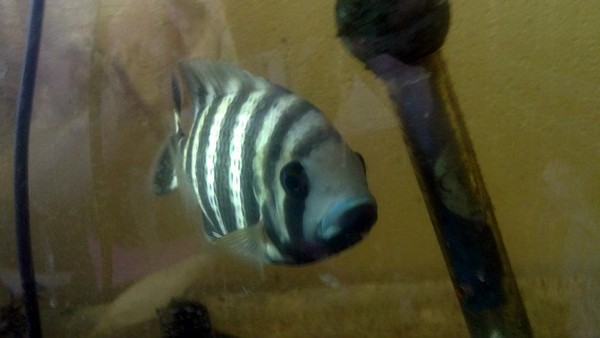 This is Butter, one of our huge tropical fish
