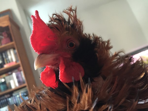Elvis was a friendly little guy who never harmed a chicken or human.