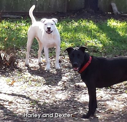 Harley and Dexter playing in the backyard this Spring.