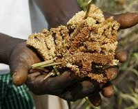 Competitive African Rice Initiative East Africa seeking Concept Notes for Matching Grant Fund