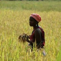 Competitive African Rice Initiative: Call for Expression of Interests for Matching Fund (MF)