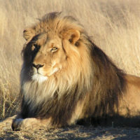 National Geographic Society's Big Cats Conservations Initiative