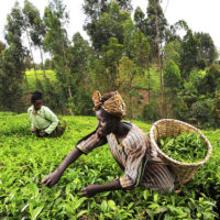 EU seeking Proposals to Support the Development of the Coffee, Tea and Horticulture Sectors in Tanzania