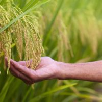USAID's Global Feed the Future Agricultural Biotechnology Program