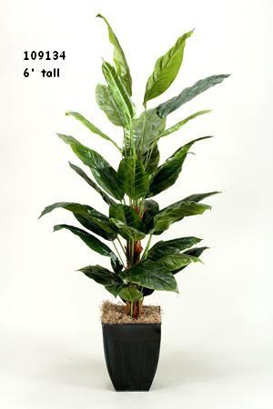 6' Spath Plant
