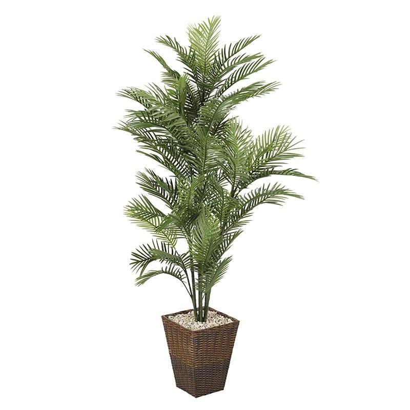 6' Robellini Palm