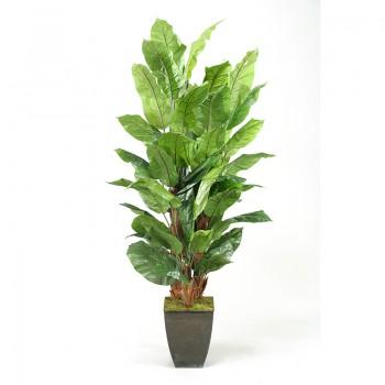 8' Spath Plant