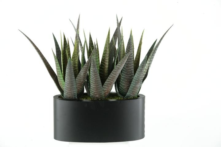 Stripped Agave