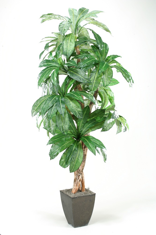8' Birdnest Palm