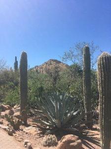 Saguaro cactuses in the desert outside Phoenix, Arizona