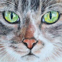 wild cat, 14 x 9 inch, muralidhar suvarna,drawings,paintings for living room,fine art drawings,drawing paper,pencil color,14x9inch,GAL0456910314