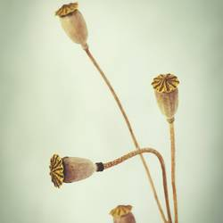 Four Buds art print by Gallerist