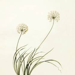 Two white flowers art print by Gallerist