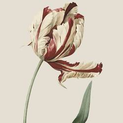 Tulip art print by Gallerist