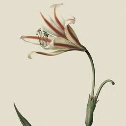 The Lily art print by Gallerist