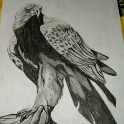 eagle, 11 x 14 inch, rimi chowdhury,paintings,animal paintings,paper,graphite pencil,11x14inch,GAL0464210739