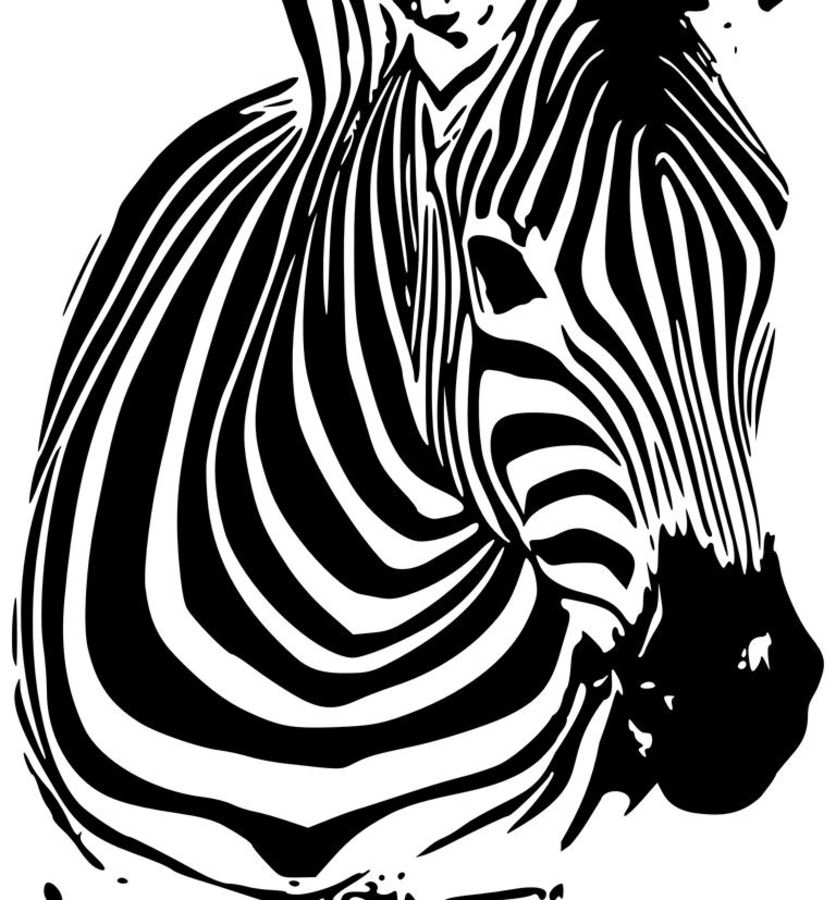 The black and white zebra