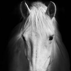White Horse 1 art print by Gallerist