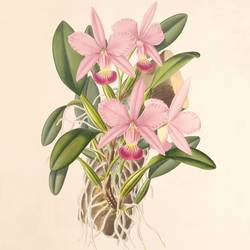 dark pink cattleya flower  art print by Gallerist