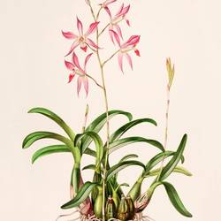 laelia pink flower with pot leaf  art print by Gallerist