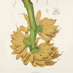 Small yellow banana with long stemp art print by Gallerist